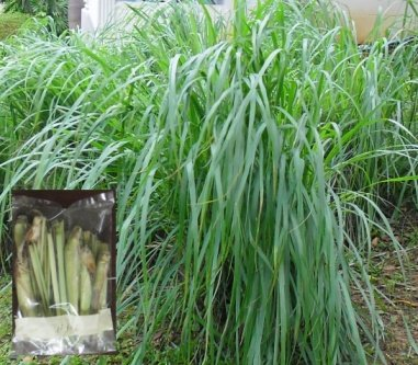 Buy this article : Lemongrass